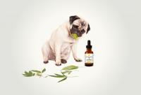Cute pug dog with Saving Grace CBD Pet Formula